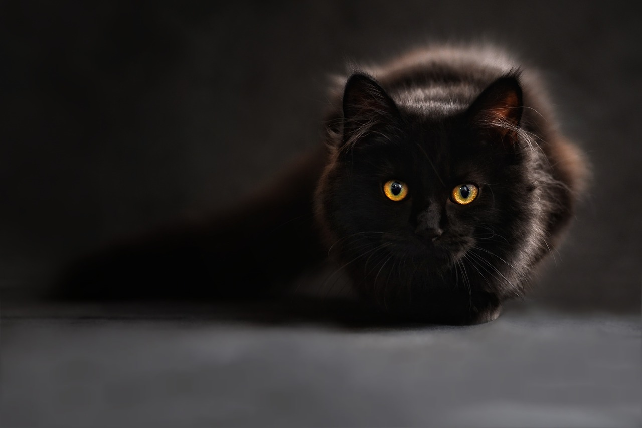 An image of a black cat