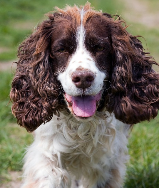 A photo of a cocker spaniel