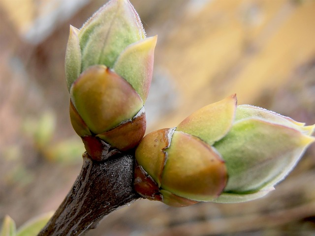 A picture of two buds about to bloom.