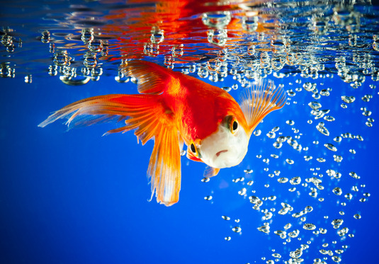 goldfish in dark blue water...