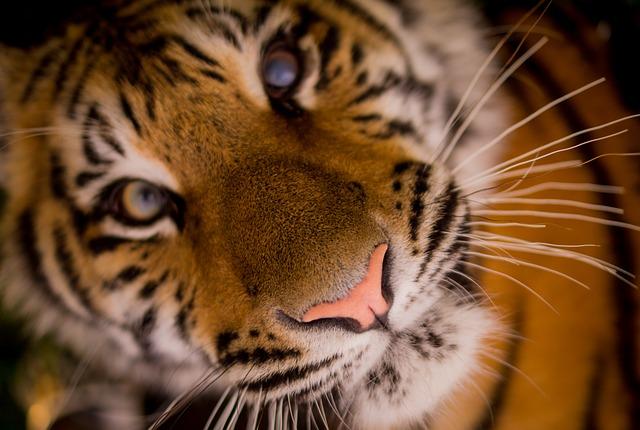 tiger-498543_640
